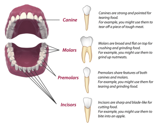 Mammalian Teeth (Human)
