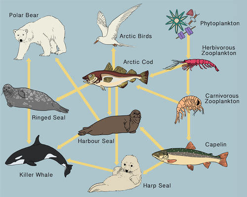 This food web displays some feeding relationships found in the Arctic Ocean