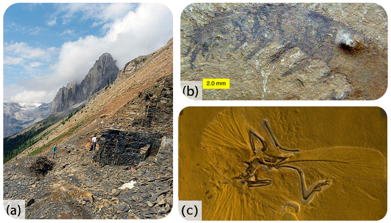 Soft-bodied fossils, Anomalocaris and Archeopteryx from Burgess Shale and Solnhofen Limestone
