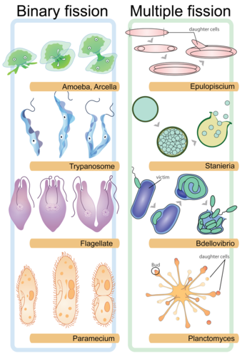 Two types of asexual reproduction photo 61