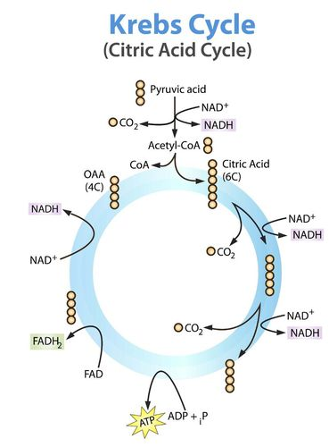 Powering the cell cellular respiration ck 12 foundation cellular respiration stage ii the krebs cycle ccuart Gallery