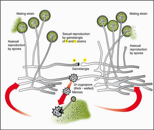 Zygomycota Read Biology Ck 12 Foundation