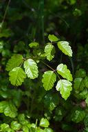 Toxicodendron diversilobum: Pacific Poison Oak