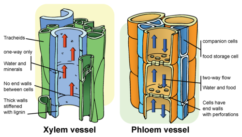 Xylem and Phloem components