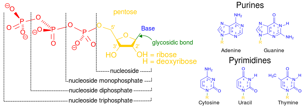 Structure of different nucleotides