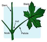 Parts of a vascular stem