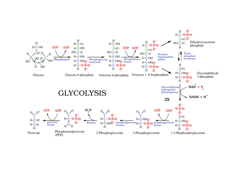 Powering the Cell Cellular Respiration and Glycolysis Read – Glycolysis Worksheet