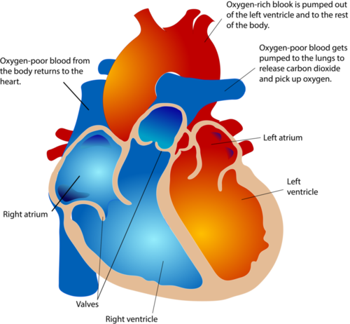 The atria receive blood and the ventricles pump blood out of the heart