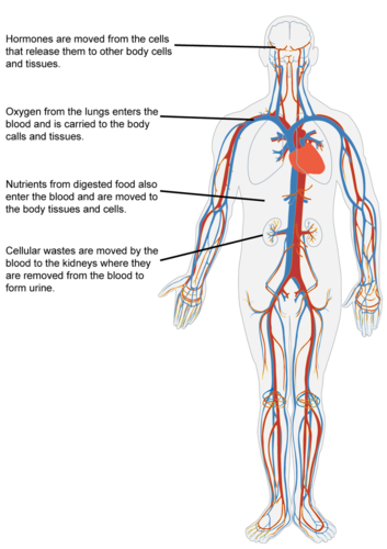 Circulatory system relative to body