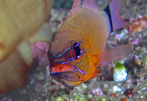 This cardinalfish is caring for its young by performing mouth brooding