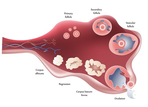 Maturation of follicle and ovulation