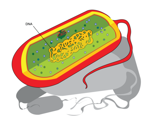 Diagram of a prokaryotic cell
