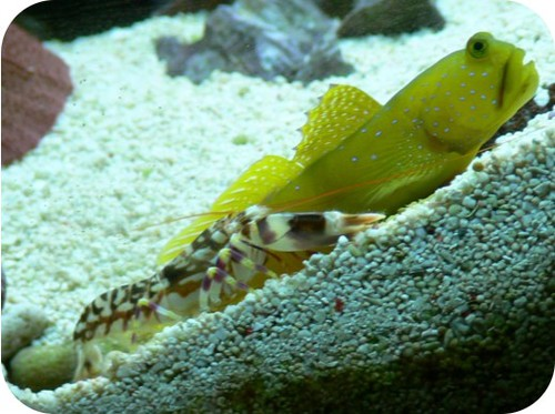A shrimp and green goby fish have a mutualistic relationship