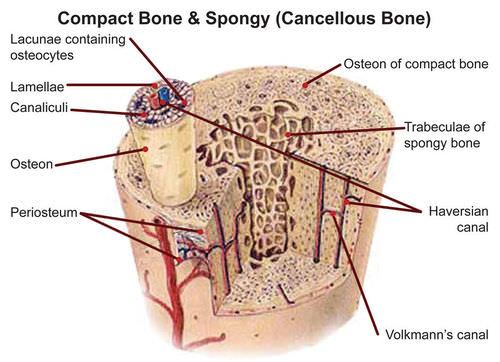 The Skeletal System – Structure of Bones Worksheet
