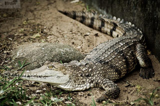 Crocodilia Read Biology Ck 12 Foundation