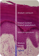 Cell layers of the epidermis