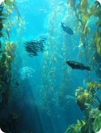 Picture of a kelp forest, which grows in the neritic zone