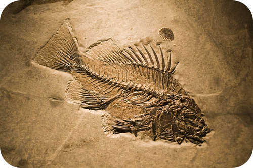 This fish was quickly buried in sediment to become a fossil
