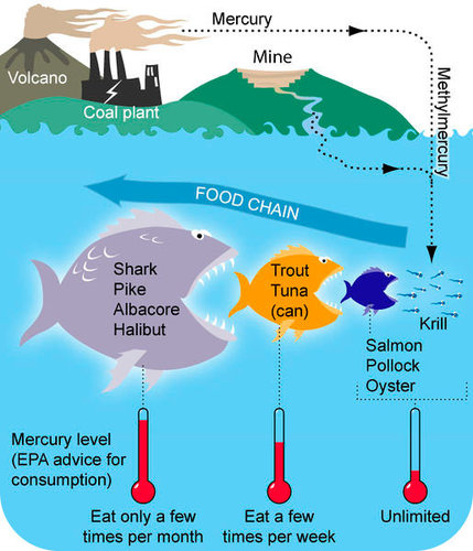 How methyl mercury bioaccumulates up the food chain