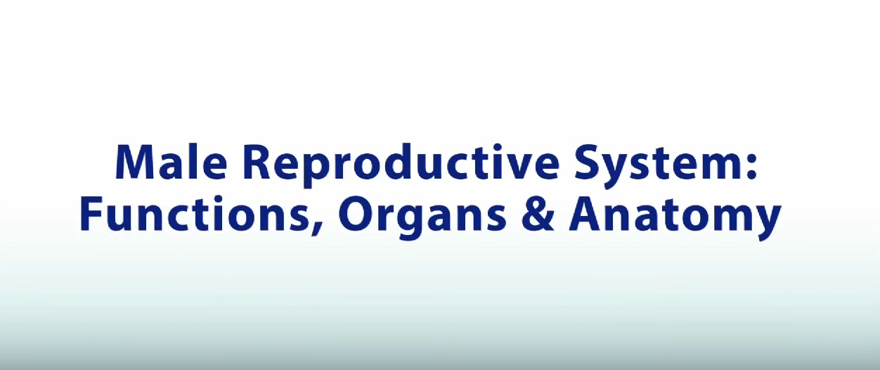 Structures Of The Male Reproductive System Ck 12 Foundation