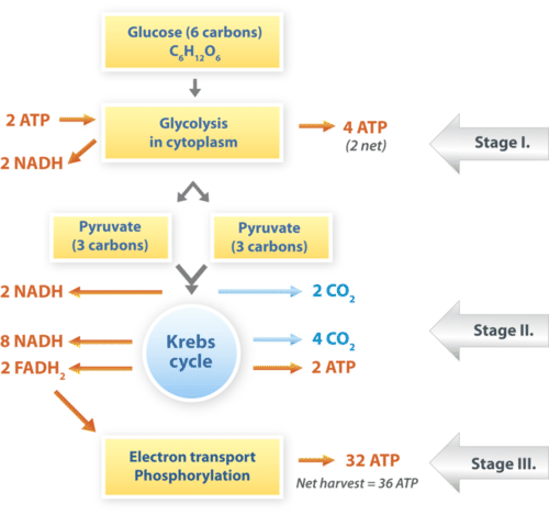 Cellular Respiration ( Read ) | Biology | CK-12 Foundation