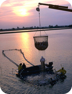 Workers at a fish farm harvesting fish