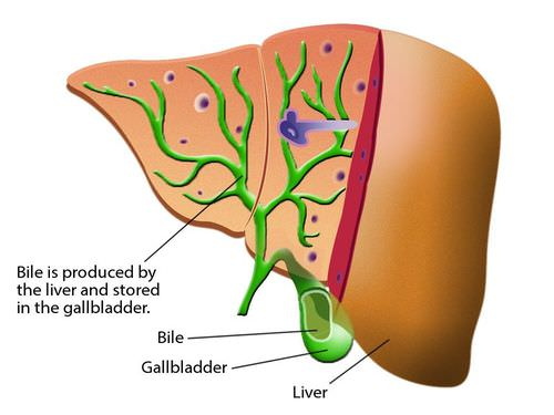 Bile helps to break down fats in the small intestine and is produced in the liver and stored in the gallbladder