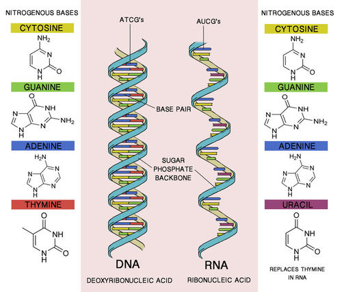 Comparison of RNA and DNA