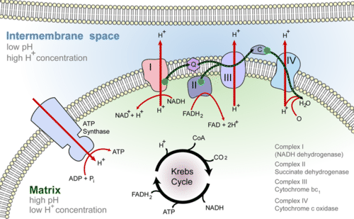 154 the electron transport chain chemistry libretexts respiration uses the energy stored during the earlier stages in nadh and fadh2 to make atp electron transport chains embedded in the mitochondrial ccuart