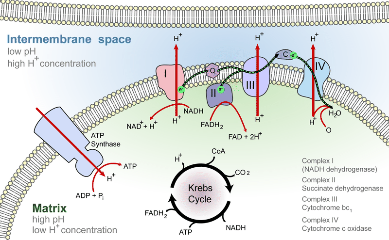 Electron transport chains are the last step of cellular respiration