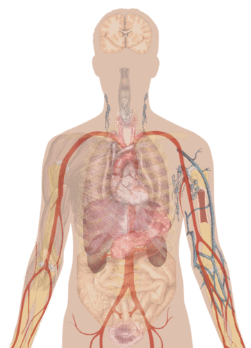 Human Organs and Organ Systems - Advanced