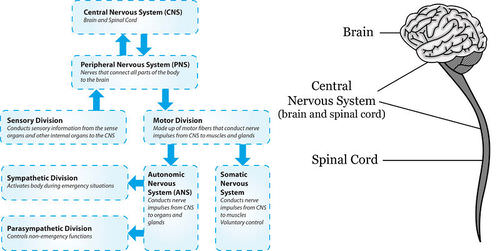 The central nervous system advanced ck 12 foundation figure 2 the two main divisions of the human nervous system ccuart Choice Image