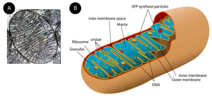 electron micrograph and illustration of a mitochondrion