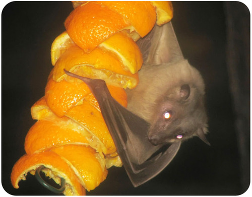Bats, like this Egyptian fruit bat, play an important role in seed dispersal