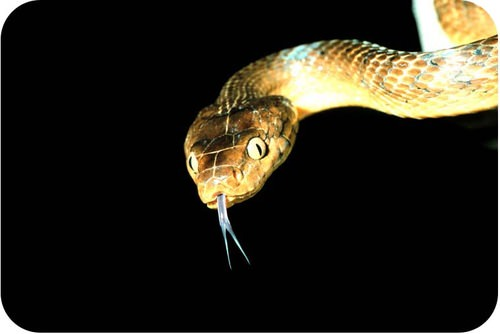 Exotic species such as the brown tree snake can cause the mass extinction of many species