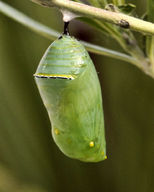 The chrysalis (pupal stage) of a monarch butterfly