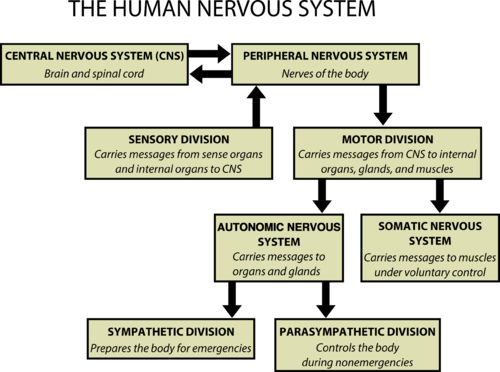 The sensory division of the peripheral nervous system interprets signals, while the motor division sends signals