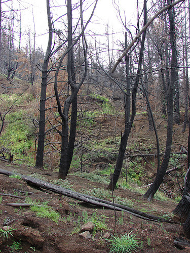 Secondary succession occurs when nature reclaims areas formerly occupied by life