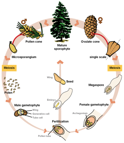 Gymnosperm life cycle