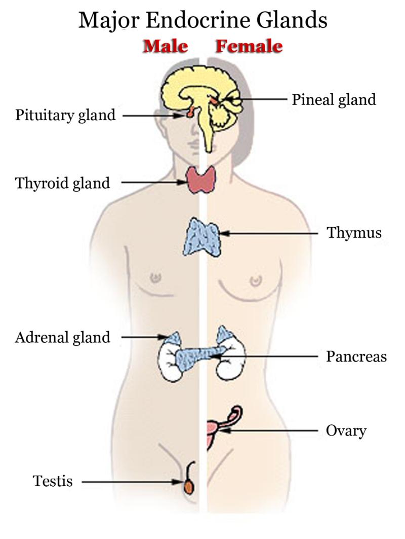 The Endocrine System Ck 12 Foundation
