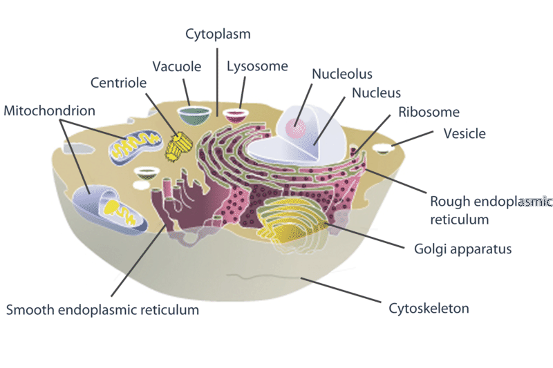 Cell Structures   CK-12 Foundation