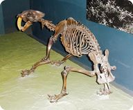 Skeleton of a saber-toothed cat