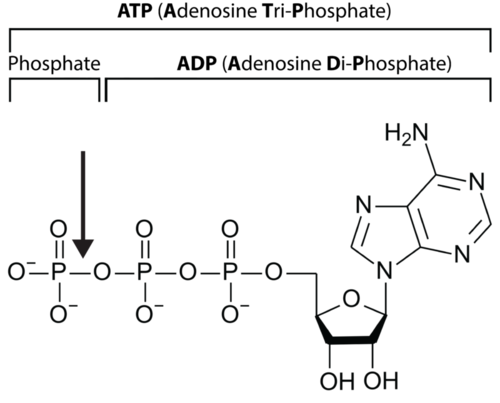 Structure of ATP