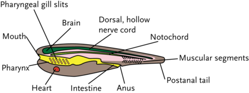 The body plan of a typical chordate