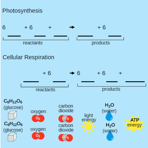 Can Photosynthesis be Reversed?