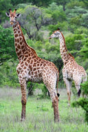 A giraffe is an ungulate, hoofed animals