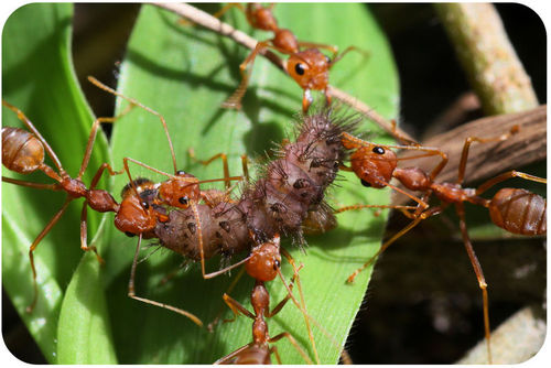 Ants cooperating to move a dead insect