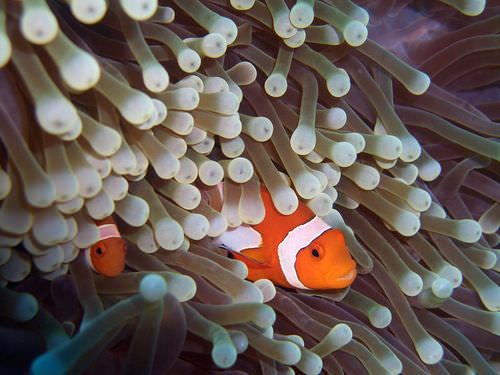 The clownfish and the sea anenome exist in a mutualistic relationship