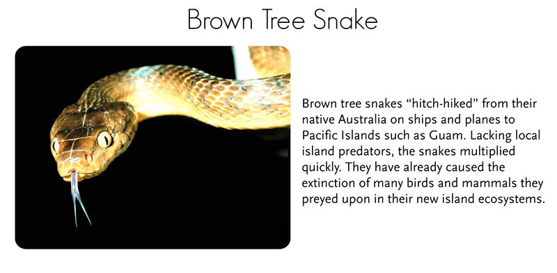 A brown tree snake