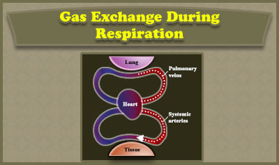 Gas Exchange During Respiration